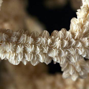 corallites