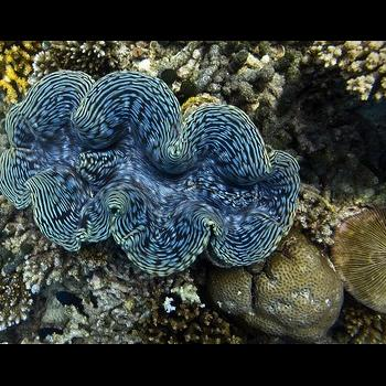 blue living giant clam