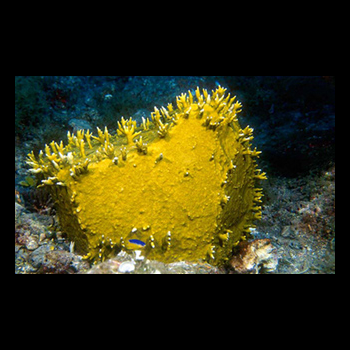 living yellow coral