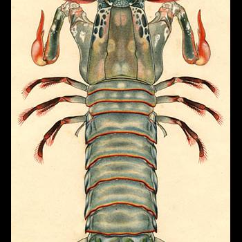 drawing of mantis shrimp