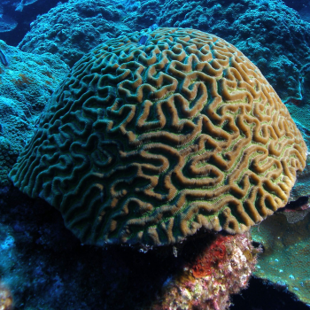 picture of coral massive growth form