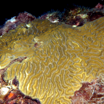 picture of encrusting coral