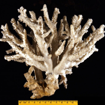 showing coral scale
