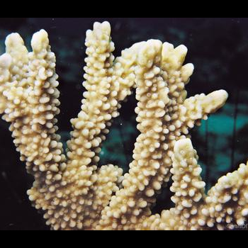 branchse of living coral colony
