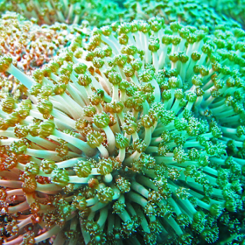 living coral colony