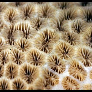 corallite close-up