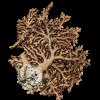 rendered image of Distichopora violacea
