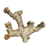 rendered image of Pocillopora molokensis