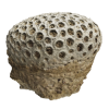 rendered image of Orbicella curta