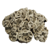 rendered image of scolymia australis