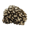 rendered image of Pocillopora damicornis
