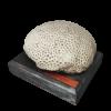rendered image of Astraea (Orbicella) coronata